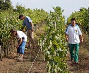 그림. 롤리베라 협동조합의 포도농장